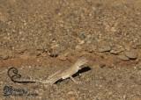 "<a href=""http://www.reptarium.cz/en/taxonomy/Phrynocephalus-maculatus/photogallery/32862"">Photo of <em>Phrynocephalus maculatus</em></a> by <a href=""http://www.reptarium.cz/en/profiles/6421"">Barbod Safaei Mahroo</a>"