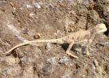 """<a href=""""http://www.reptarium.cz/en/taxonomy/Phrynocephalus-maculatus/photogallery/33592"""">Photo of <em>Phrynocephalus maculatus</em></a> by <a href=""""http://www.reptarium.cz/en/profiles/6579"""">Omid Mozaffari</a>"""