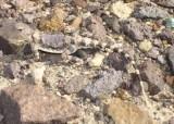 "<a href=""http://www.reptarium.cz/en/taxonomy/Phrynocephalus-scutellatus/photogallery/33602"">Photo of <em>Phrynocephalus scutellatus</em></a> by <a href=""http://www.reptarium.cz/en/profiles/6579"">Omid Mozaffari</a>"