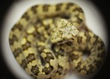 "<a href=""http://www.reptarium.cz/en/taxonomy/Protobothrops-sieversorum/photogallery/32764"">Photo of <em>Protobothrops sieversorum</em></a> by <a href=""http://www.reptarium.cz/en/profiles/4015"">Danila Melanin</a>"