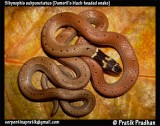 "<a href=""http://www.reptarium.cz/en/taxonomy/Sibynophis-subpunctatus/photogallery/32500"">Photo of <em>Sibynophis subpunctatus</em></a> by <a href=""http://www.reptarium.cz/en/profiles/5044"">Pratik Pradhan</a>"