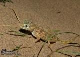 "<a href=""http://www.reptarium.cz/en/taxonomy/Stenodactylus-doriae/photogallery/33077"">Photo of <em>Stenodactylus doriae</em></a> by <a href=""http://www.reptarium.cz/en/profiles/6421"">Barbod Safaei Mahroo</a>"