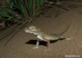 "<a href=""http://www.reptarium.cz/en/taxonomy/Stenodactylus-doriae/photogallery/33706"">Photo of <em>Stenodactylus doriae</em></a> by <a href=""http://www.reptarium.cz/en/profiles/6579"">Omid Mozaffari</a>"