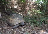 "<a href=""http://www.reptarium.cz/en/taxonomy/Testudo-graeca/photogallery/33691"">Photo of <em>Testudo graeca</em></a> by <a href=""http://www.reptarium.cz/en/profiles/6579"">Omid Mozaffari</a>"