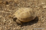 "<a href=""http://www.reptarium.cz/en/taxonomy/Testudo-horsfieldii/photogallery/33679"">Photo of <em>Testudo horsfieldii</em></a> by <a href=""http://www.reptarium.cz/en/profiles/6832"">Kamran Kamali</a>"