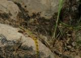 "<a href=""http://www.reptarium.cz/en/taxonomy/Tropiocolotes-helenae/photogallery/33132"">Photo of <em>Tropiocolotes helenae</em></a> by <a href=""http://www.reptarium.cz/en/profiles/6421"">Barbod Safaei Mahroo</a>"
