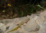 """<a href=""""http://www.reptarium.cz/en/taxonomy/Tropiocolotes-helenae/photogallery/33685"""">Photo of <em>Tropiocolotes helenae</em></a> by <a href=""""http://www.reptarium.cz/en/profiles/6579"""">Omid Mozaffari</a>"""