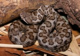 "<a href=""http://www.reptarium.cz/en/taxonomy/Vipera-aspis/photogallery/32422"">Photo of <em>Vipera aspis</em></a> by <a href=""http://www.reptarium.cz/en/profiles/3200"">Jan Detka</a>"