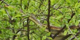 """<a href=""""http://www.reptarium.cz/en/taxonomy/Zamenis-longissimus/photogallery/26924"""">Photo of <em>Zamenis longissimus</em></a> by <a href=""""http://www.reptarium.cz/en/profiles/5358"""">Andrej Alena</a>"""