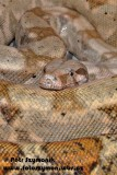 "<a href=""http://www.reptarium.cz/en/taxonomy/Boa-constrictor/photogallery/34649"">Photo of <em>Boa constrictor</em></a> by <a href=""http://www.reptarium.cz/en/profiles/1706"">Petr Szymonik</a>"