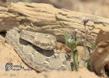 "<a href=""http://www.reptarium.cz/en/taxonomy/Echis-carinatus/photogallery/33905"">Photo of <em>Echis carinatus</em></a> by <a href=""http://www.reptarium.cz/en/profiles/6421"">Barbod Safaei Mahroo</a>"