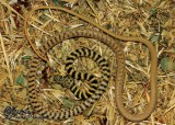 "<a href=""http://www.reptarium.cz/en/taxonomy/Platyceps-ventromaculatus/photogallery/34728"">Photo of <em>Platyceps ventromaculatus</em></a> by <a href=""http://www.reptarium.cz/en/profiles/6421"">Barbod Safaei Mahroo</a>"